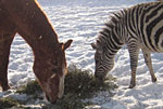 Zebra and Horse Pebble Ledge Ranch